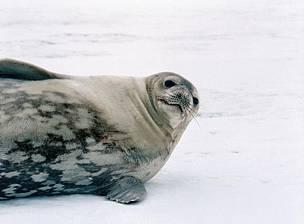 © Foca de Weddell en Isla Decepción, Antártida