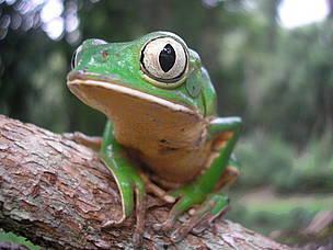 © Rana Mono en la Reserva Vida Silvestre Uruguaí, Misiones