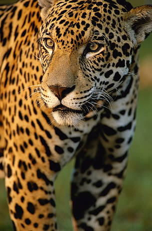 © Yaguareté,  es el felino más grande del continente americano y tercero en corpulencia a escala mundial.