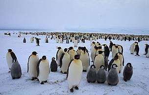 © Colonia de pingüinos emperadores en el Glaciar Dawson-Lambton, Antártida.