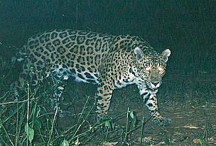 © La Colorada es un yaguareté hembra de unos 8 años aproximadamente.