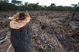 © En la Argentina, el avance de la actividad agropecuaria ocasiona una pérdida anual de unas 250.000 ha. de bosques nativos