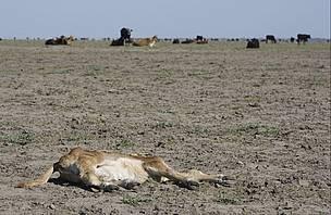 / ©: Las sequías serán más pronunciadas y afectarán el ganado / Fernando Miñarro