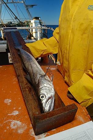 © La sobreexplotación y la pesca de juveniles puso en riesgo a la merluza.