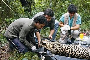 © Trabajo de conservación del Yaguareté