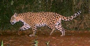 © Yarigüí parece ser una hembra con un territorio estable que incluye parte del Parque Nacional Iguazú y la Reserva San Jorge.